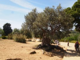 600 year old Olive Tree Muddy Archaeologist Gillian Hovell